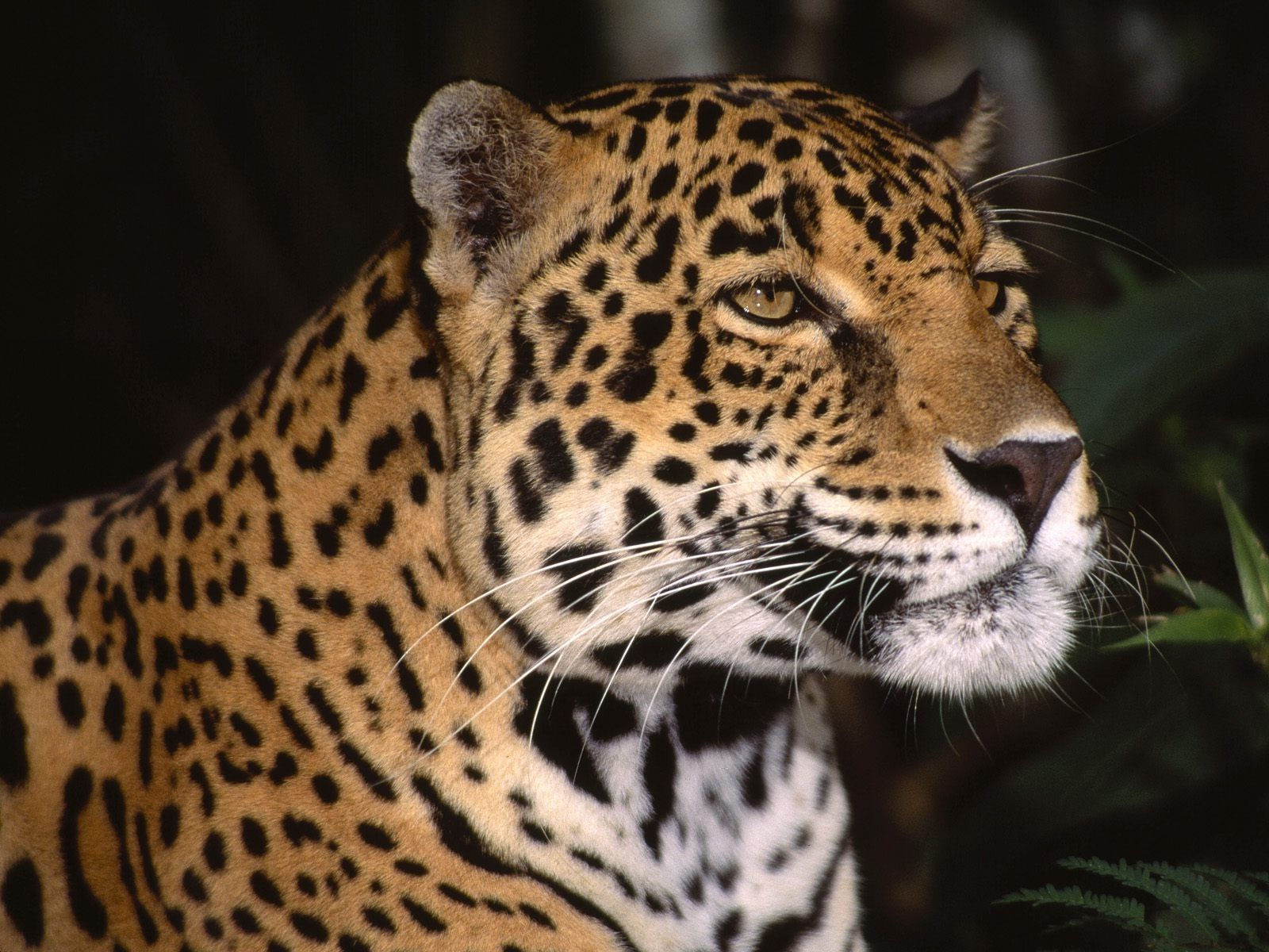 The Indian leopard (Panthera pardus fusca) is widely