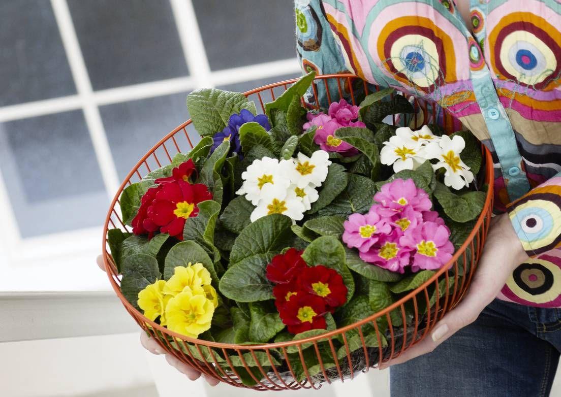 Huone-esikko ja kääpiöesikko viihtyvät parhaiten hieman viileässä. Lue hoitovinkit Viherpihasta ja anna esikkojen tuoda kevät kotiin!
