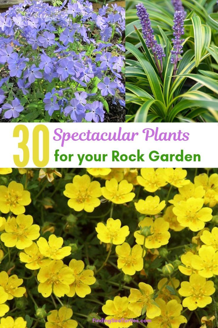 30 Rock Garden Plants That Perform Like Rock Stars! - Finding Sea Turtles