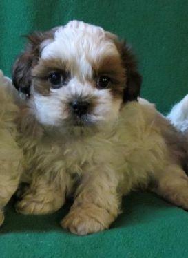 Non Shedding Puppies 1 2 Shih Tzu 1 2 Toy Poodle Toy Poodle