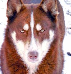 Lost 2 Siberian Huskies One Dark Red White With Blue Eyes And