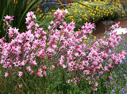Gladiolus Carneus Painted Lady Rare And Beautiful South African Species Gladiolus Huge 1 5 Flaring Perennials Low Maintenance Perennials African Plants