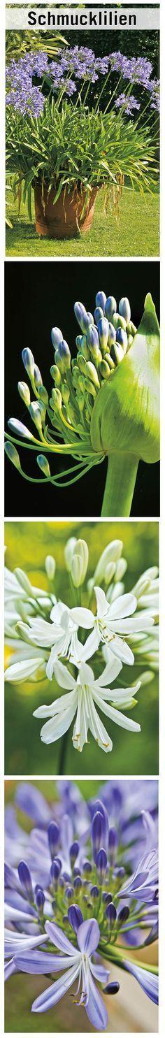 Schmucklilien Schmucklilie Pflanzen Garten