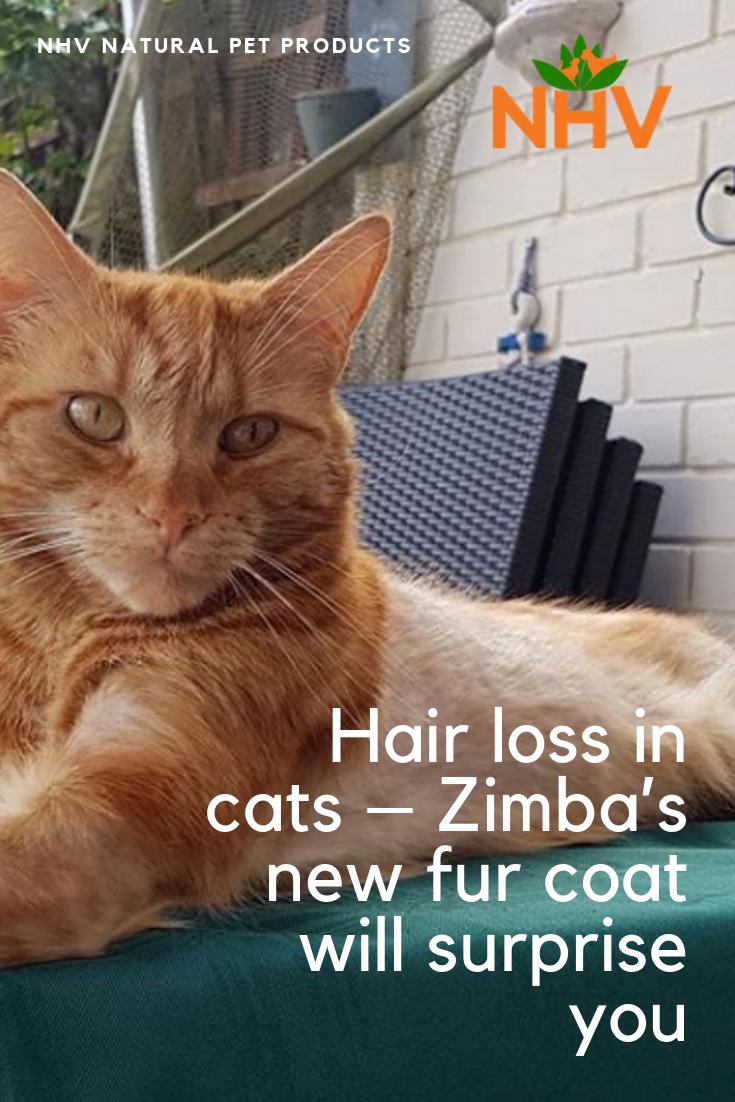Hair Loss In Cats Zimba S New Fur Coat Will Surprise You Cat Hair Loss Hair Loss Cats