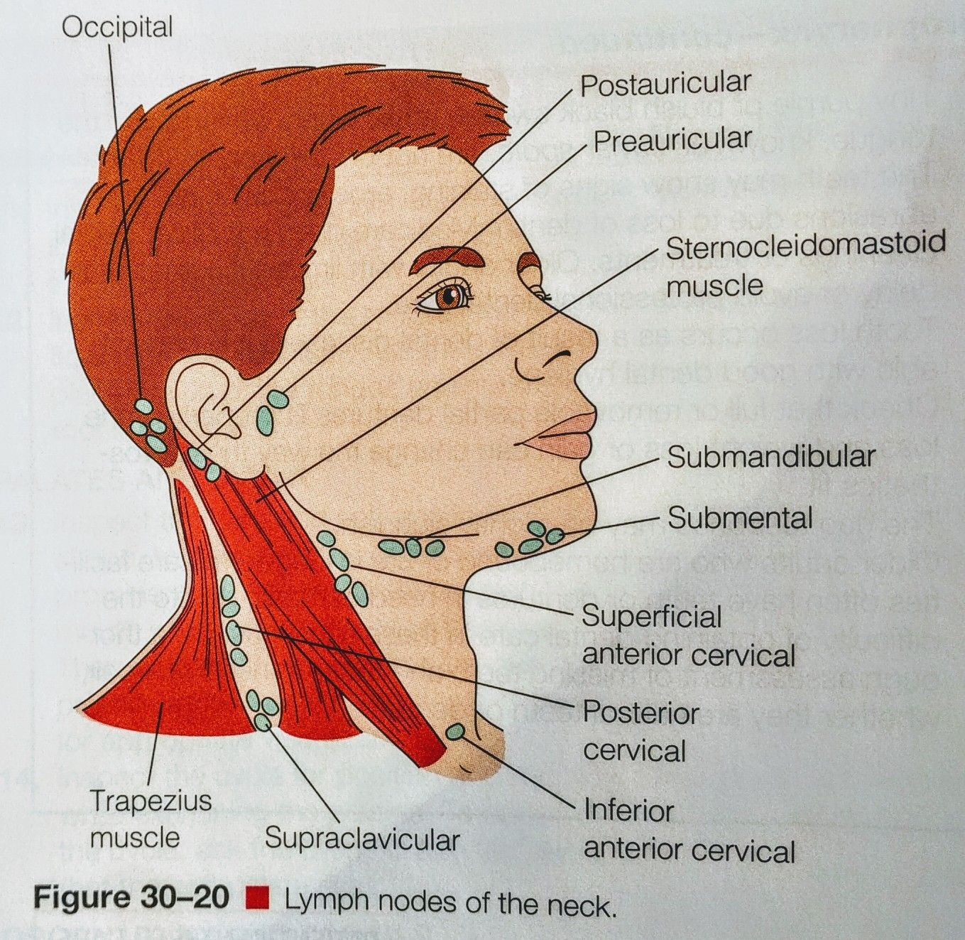 Lymph Nodes -Head & Neck | anatomy | Pinterest | Lymph nodes ...