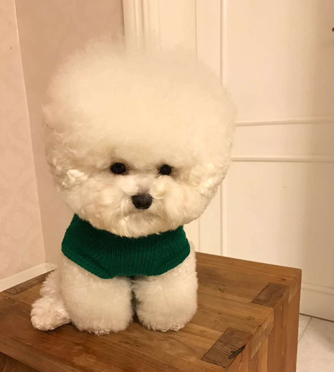 Rock Hudson From The Cleveland Show Lol Bichon Dog Cute Dogs Cute Animals