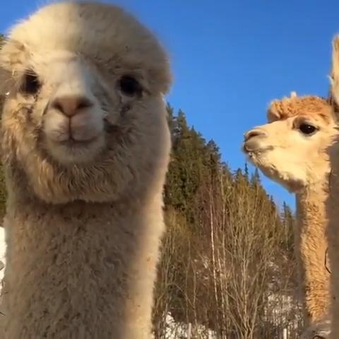 So cute ❤️ #CreativeDIYsandall #fluffy #fluffycrew #animalvideos #animals #nature #alpagas #funnyanimals #cuteanimals #KendinYapveDiğerHerşey #hayvanlaralemi #hayvanlar #doğa #hayvanvideoları