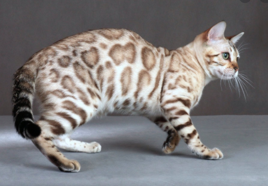 Facts of Bengal Cat, Coat Patterns and Colors Petco Near