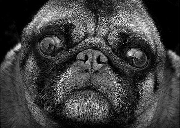 Beautiful Black White Photography Of Animals Puppy Dog Eyes