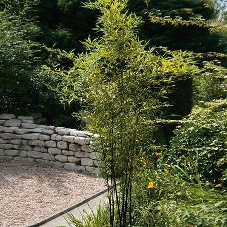 schwarzer bambus - bambus | garten | pinterest, Garten und bauen