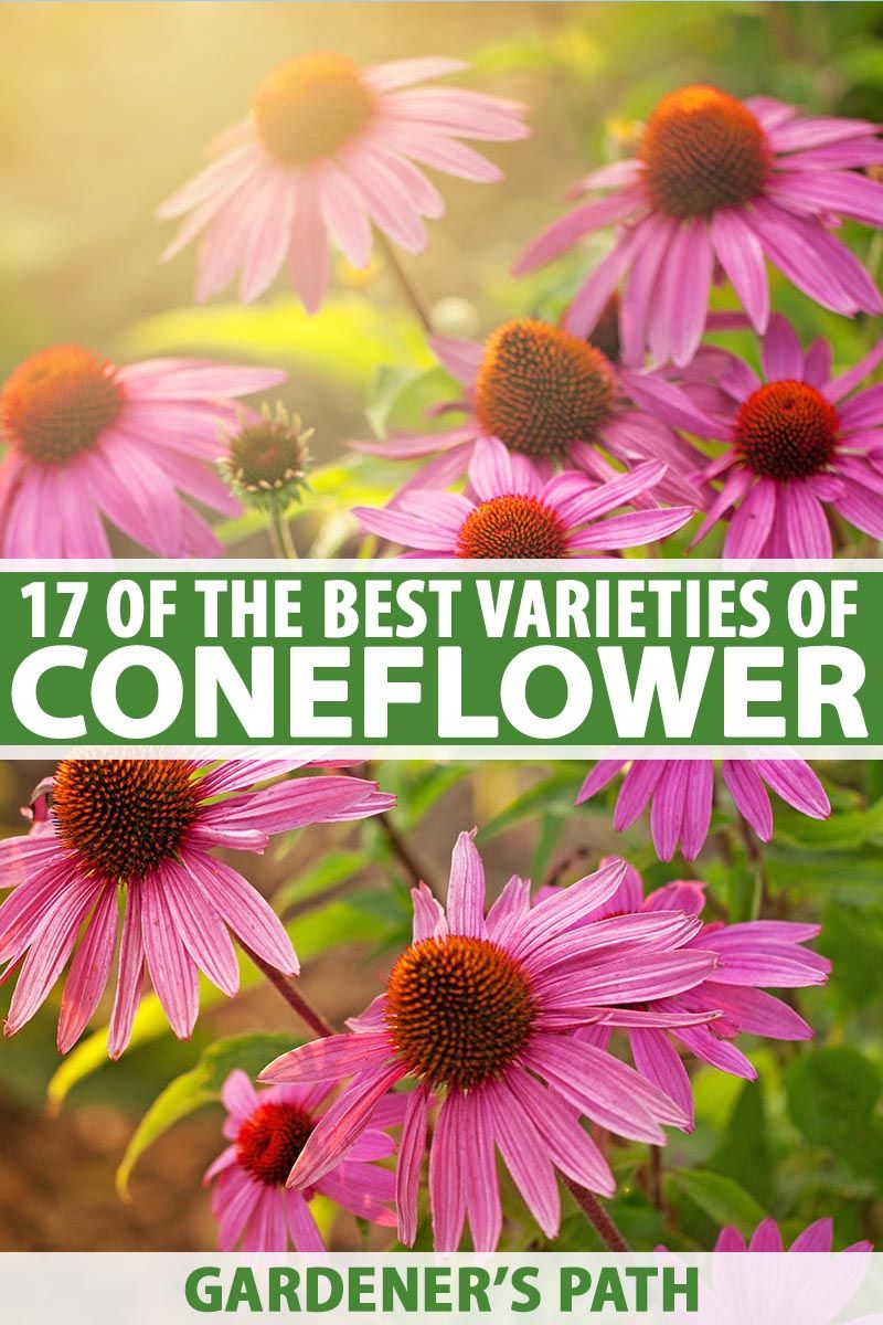 17 Of The Best Coneflower Varieties Gardener S Path In 2020 Plants Growing Herbs Echinacea