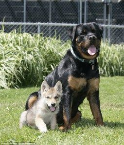 Here Is Apollo Rottweiler Playing With Shadow Husky Wolf Mix