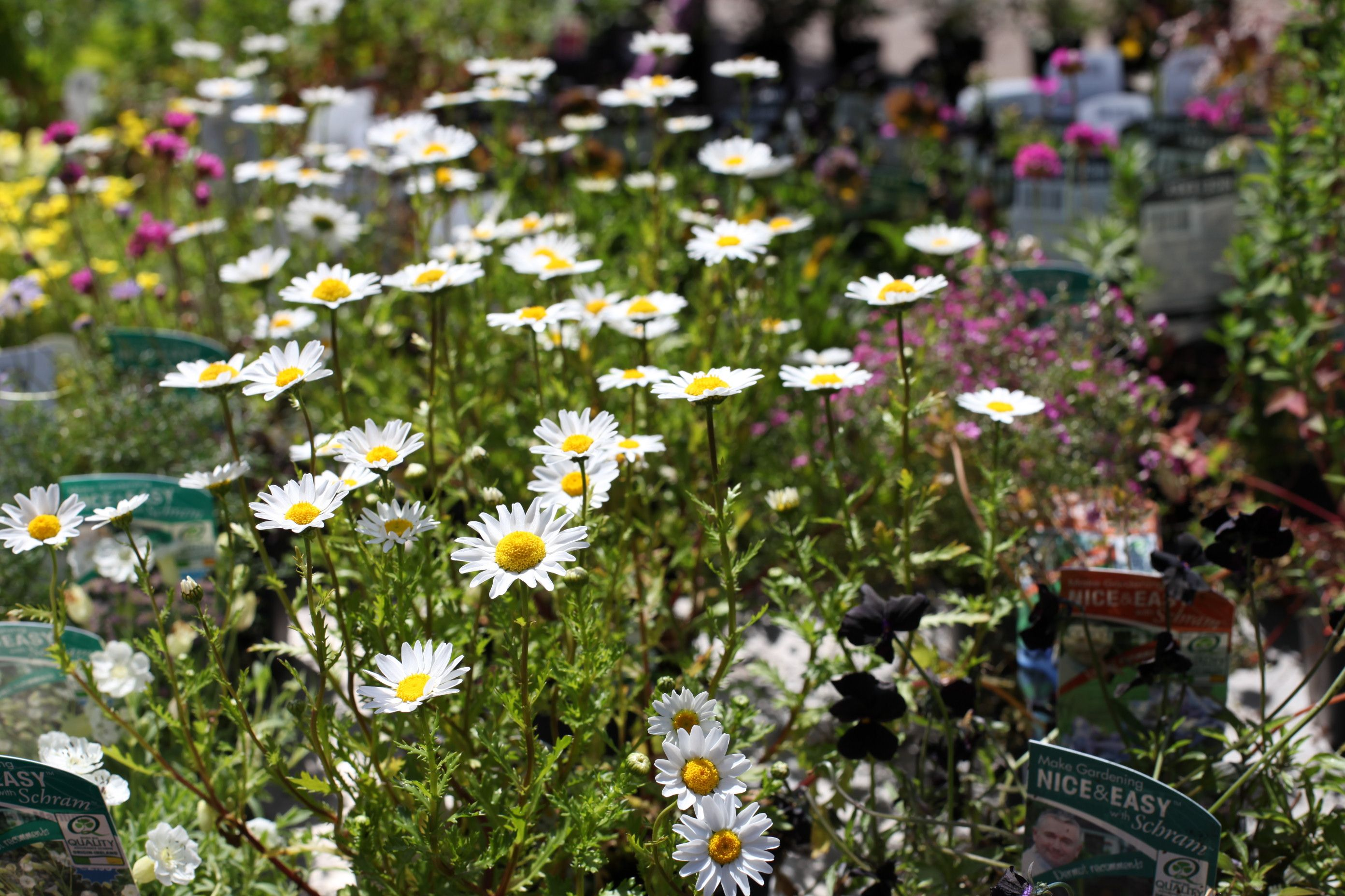 Chrysanthemum snowland masses of bright white daisy like flowers chrysanthemum snowland masses of bright white daisy like flowers cover this mounded plant throughout summer perfect for beds borders and containers izmirmasajfo
