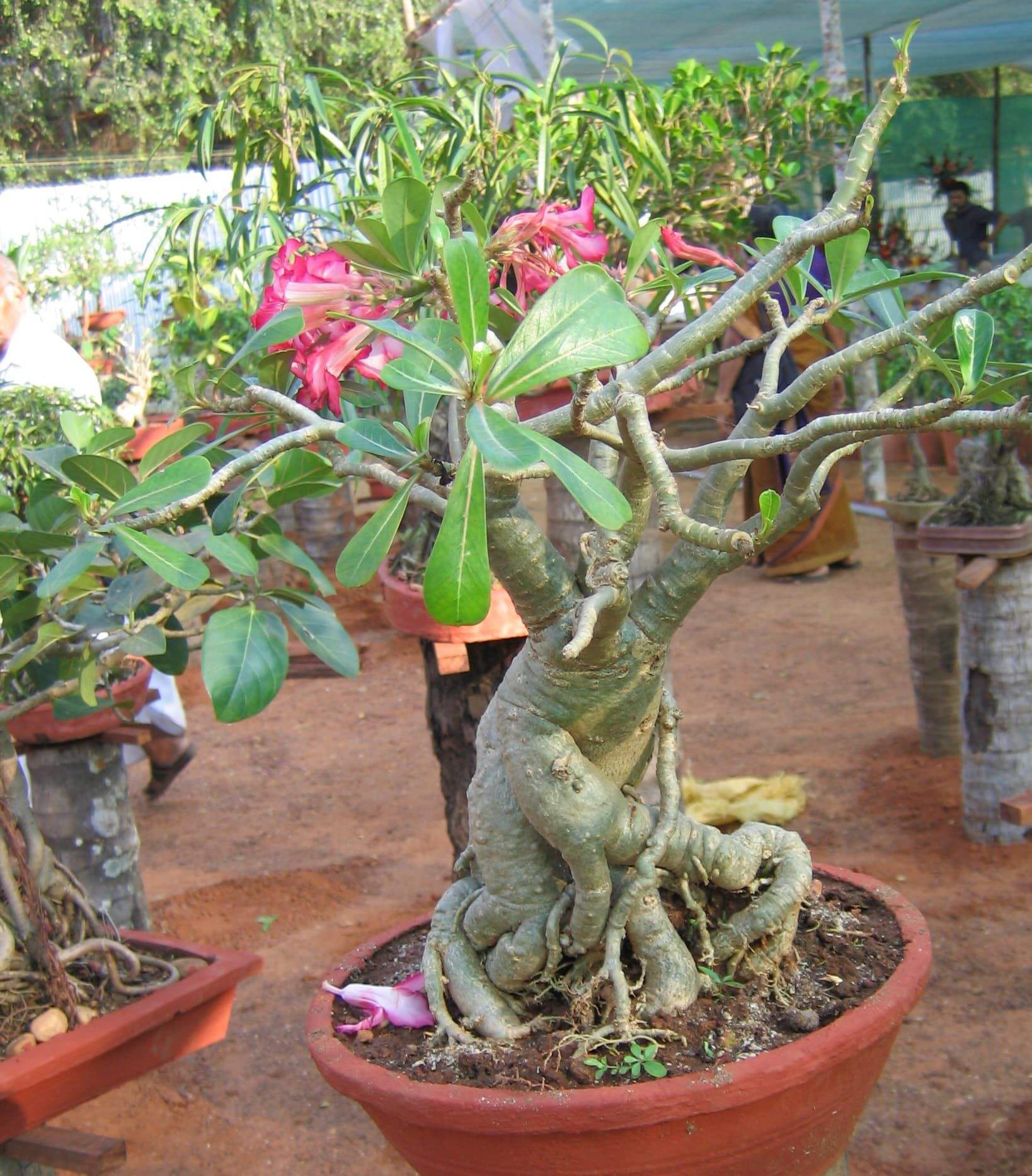 4 Common Issues With Desert Rose Possible Fixes Desert Rose Plant Rooting Roses Desert Rose