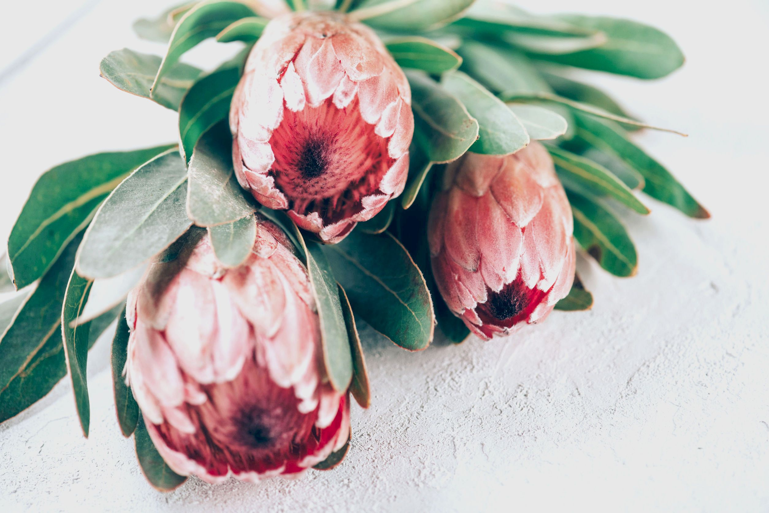 Protea Pink Ice Is What You Need. Protea, Pink, Floral