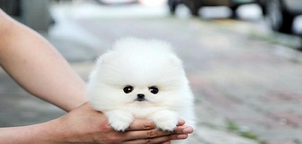 teacup pomeranian dogs full grown breed | Dog | Pinterest ...