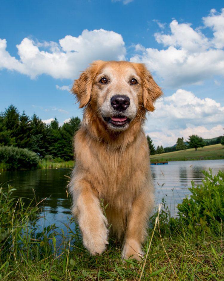 Izzy The Golden Retriever Golden Dog Pet Photographer Orange