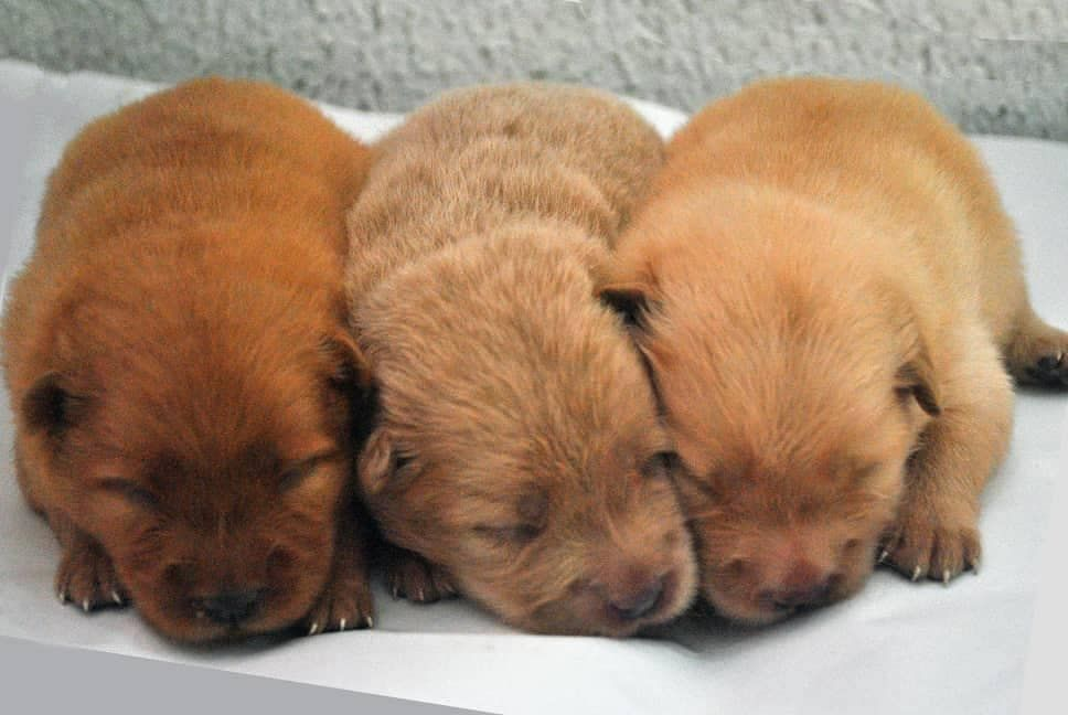 Chow Chow Puppies For Sale Contact Us Today If You Are Interested