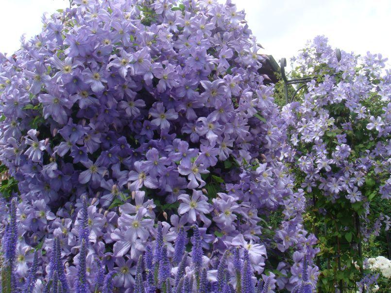 Clematis 39 prince charles 39 bloemen en planten pinterest - Clematis viticella ...