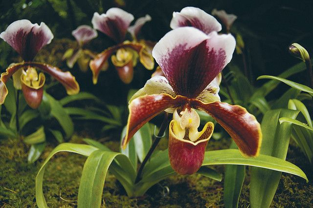 Paphiopedilum Rainbow By Missouri Botanical Garden Mbg Is An