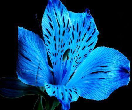 blue-tiger- lily-flower
