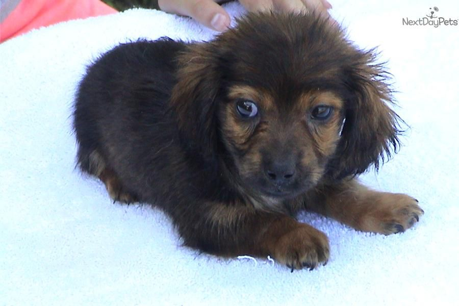 Akc Red Long Hair Male Mini Puppy Dachshund Puppy Miniature