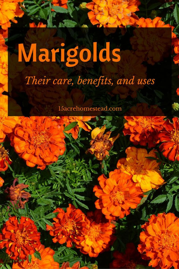 Marigolds: Their Care, Benefits and Uses - 15 Acre Homestead