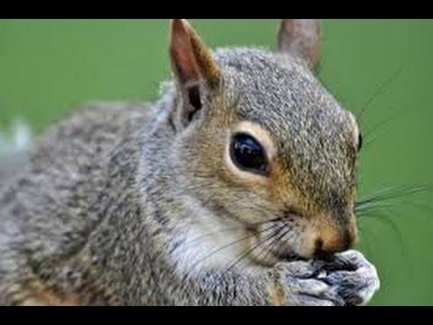 How To Skin And Clean A Squirrel Grey Squirrel Youtube Animals Squirrel Get Rid Of Squirrels