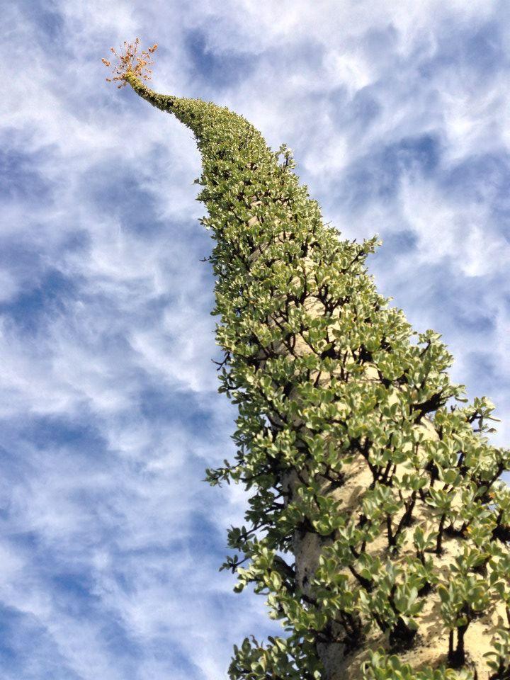 Fouquieria columnaris.
