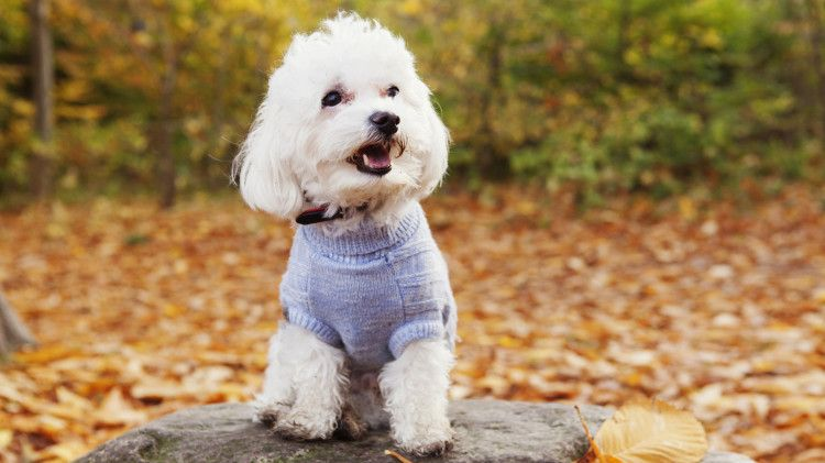 Top Dogs That Don T Shed Cute Small Dogs Dog Breeds Cute Dogs