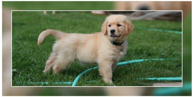 Most Common Health Problems In Golden Retrievers Retriever Puppy