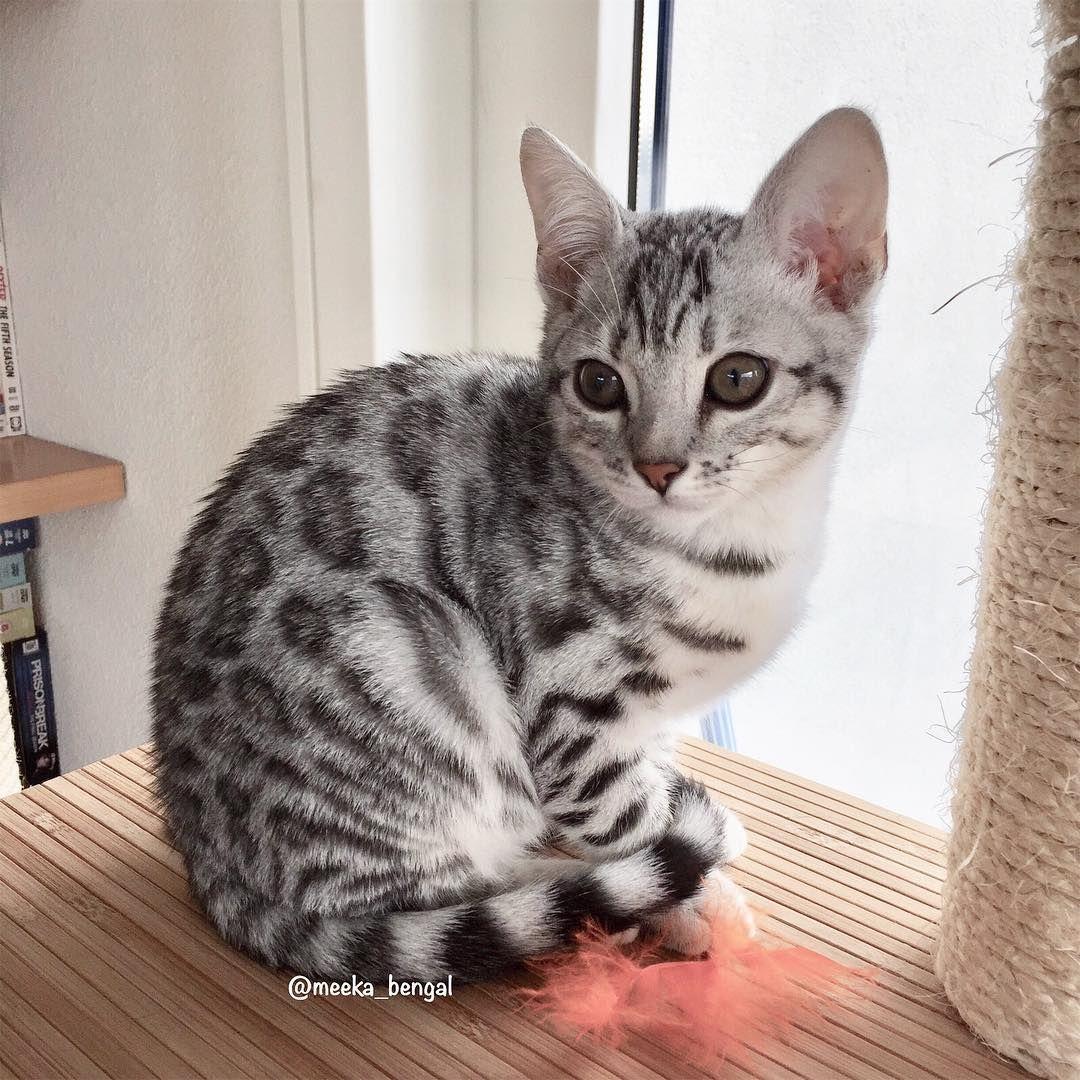 Silver Marble Bengal Cat Lively Pets 1435 Petasu Com White Bengal Cat Rare Cat Breeds Cat Breeds