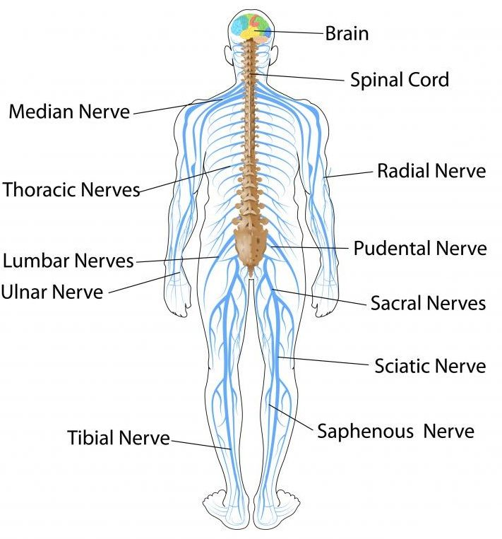 Total: 23 Average: 3.8/5] The Nervous System and Sense Organs – ICSE ...