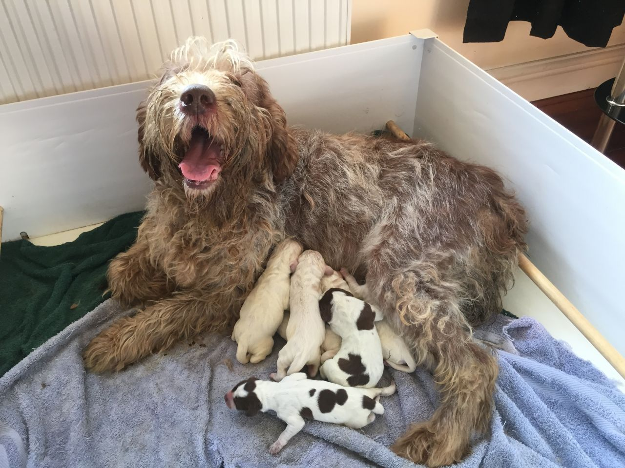 Image of italian spinone brown roan young puppy blue sitting cute - Image Result For Italian Spinone Brown Roan