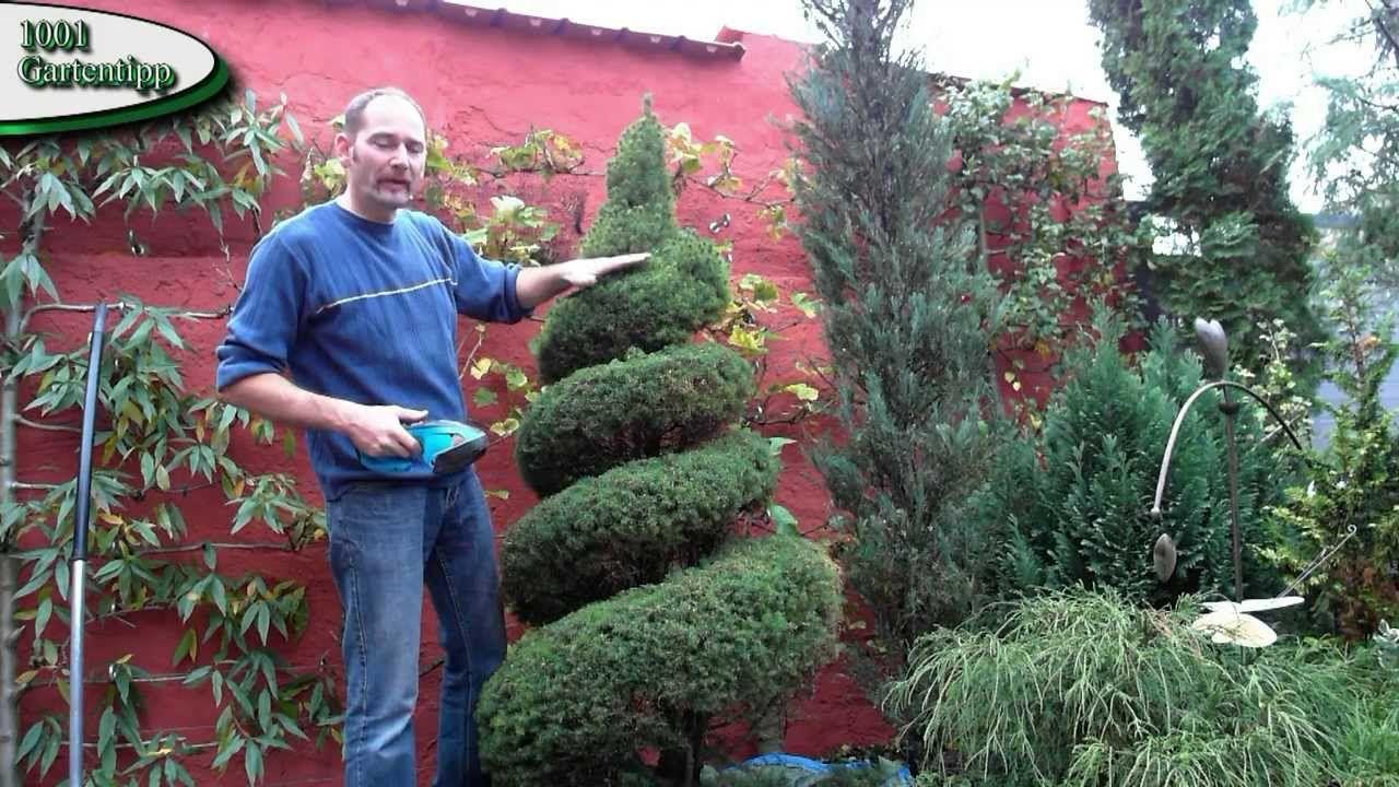 Gartentipp August 0806 Zuckerhutfichte Spiralförmig