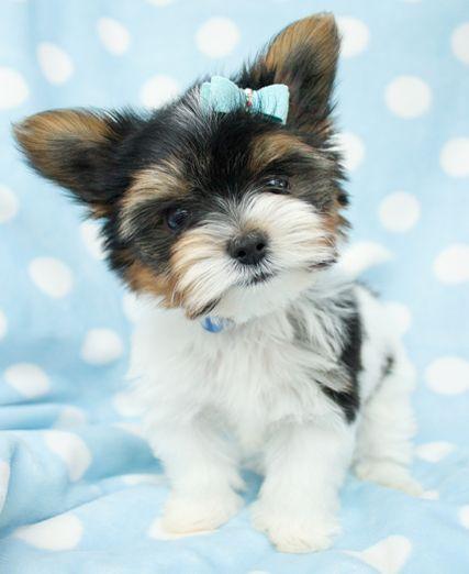 Biewer Yorkshire Terrier Yorkshire Terrier Puppies Biewer Yorkie Terrier