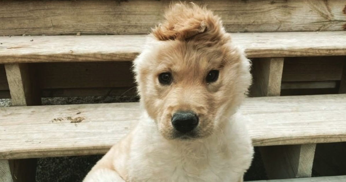 Puppy Left With One Ear After Accident Transforms Into Instagram S Adorable Golden Unicorn In 2020 Golden Retriever Retriever Cute Stories