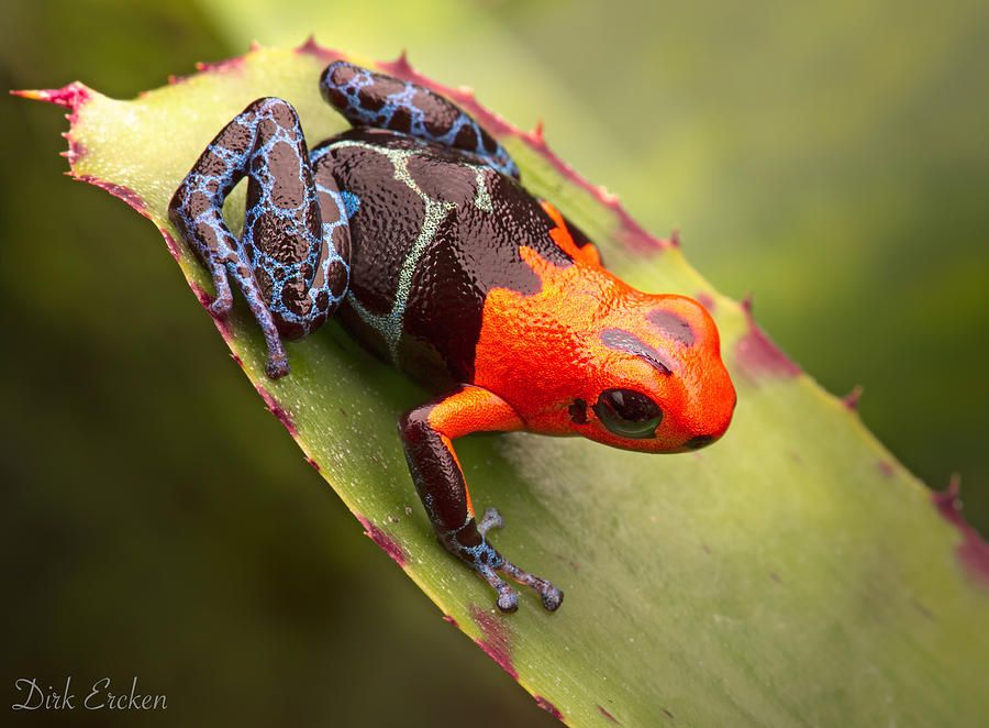 Red Headed Poison Dart Frog PhotographTitleRed Blue Poison Dart ...