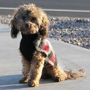22 Poodle Mixes Fun To See Mixed Breeds Are Awesome Adopt One