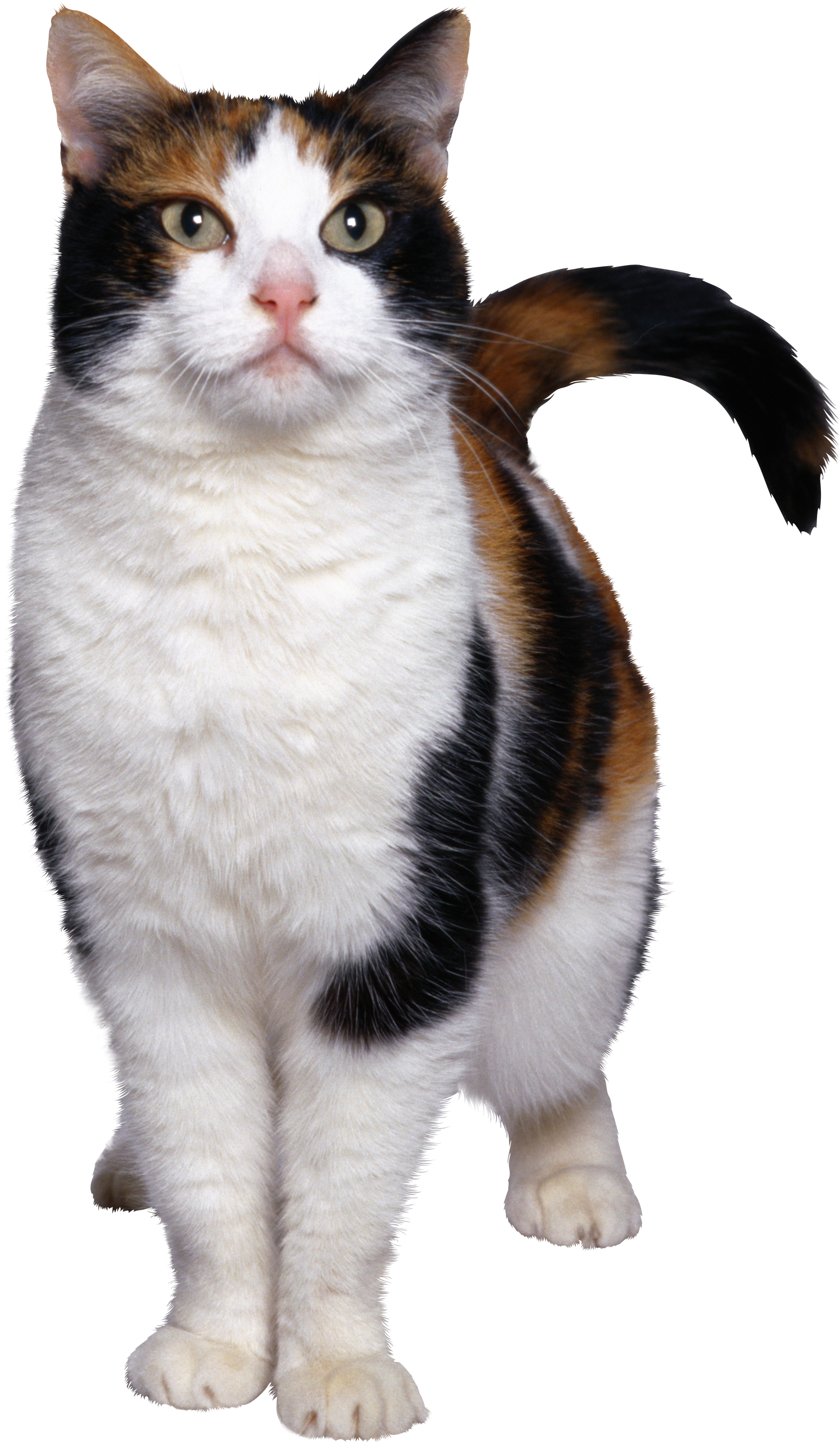 Download Png Image Cat Png Image Free Download Picture Kitten Cat Illustration Cats Free Cats
