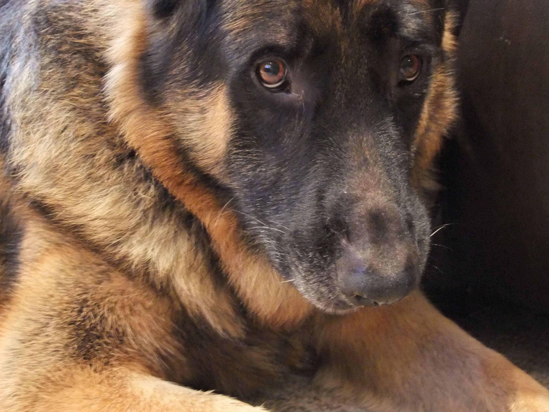 Lisa's beautiful Shepherd Jackson! German shepherd dogs