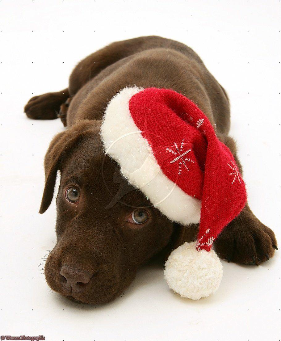 Chocolate Labrador Retriever Merry Christmas Card Puppy