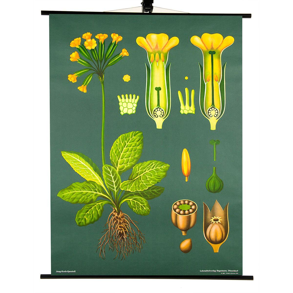 Cowslip Print Jung-Koch-Quentell | Science | Pinterest | Plantas