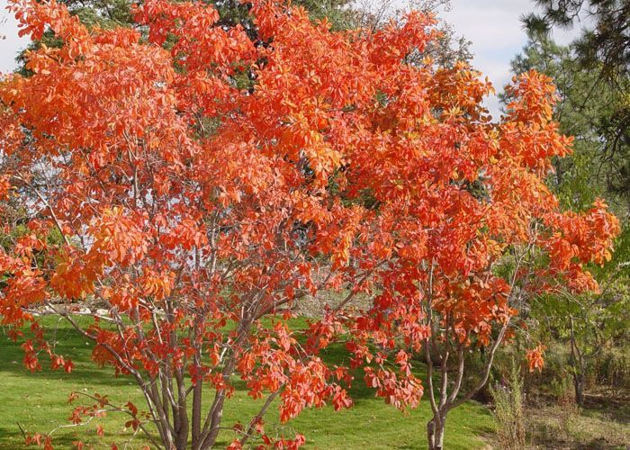 Cotinus obovatus 'Cotton Candy' American Smoketree: #SaffronFallFoliage ... Z3a, 18x15', #sun-#part, #dry poor hills-river bluffs, any PH #lime, +pollution/inner-city; #bee #butterfly friendly, #xeriscape, #DeerResistant, #DiseaseResistant; NA native cultivar