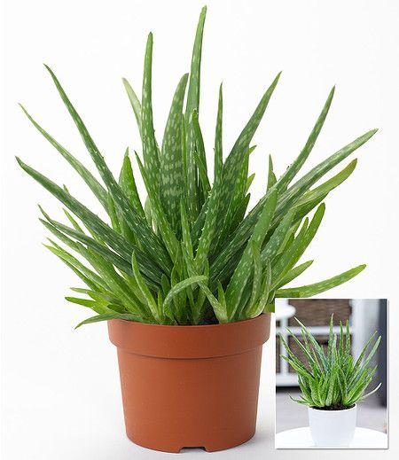 Aloe Vera 1 Pflanze