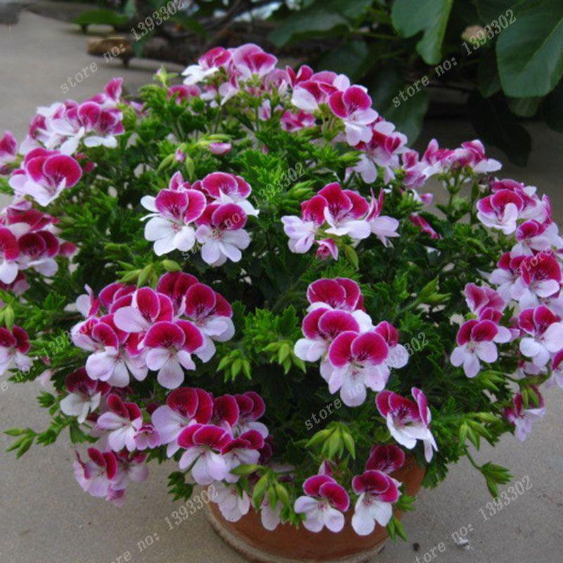 balcón macetas de geranios rojos y blancos semillas de flores las