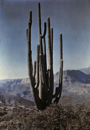 A cactus stands tall in the desert. FRANKLIN PRICE KNOTT/National Geographic Stock