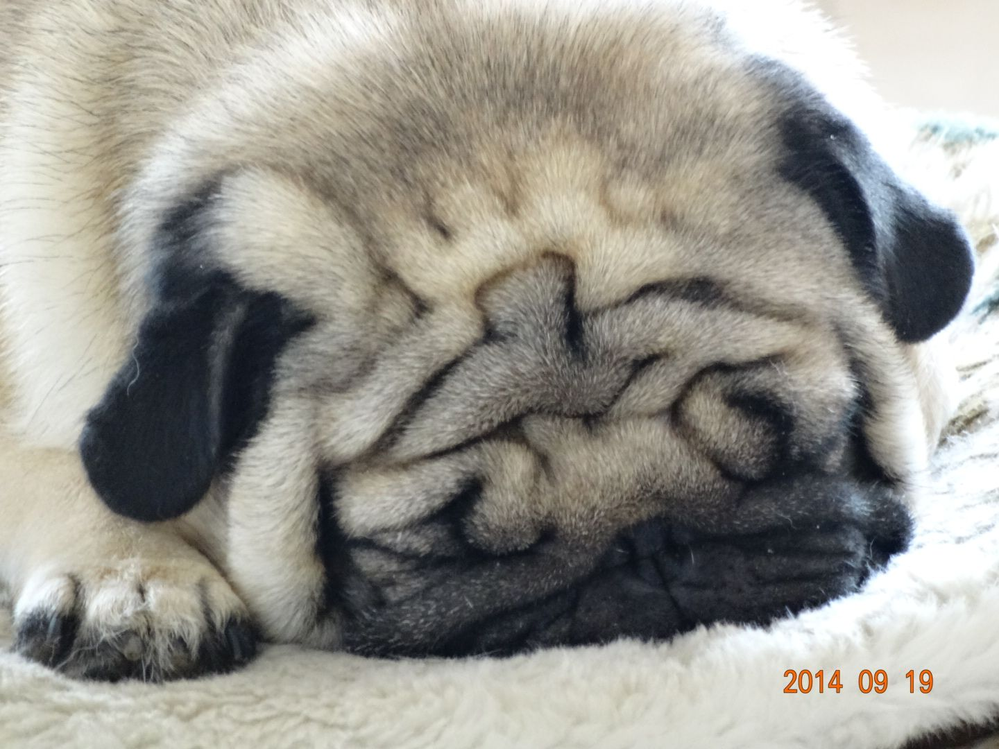 Pin By Kivonna Henry On Pugs Cute Animals Cute Puppies Puppies