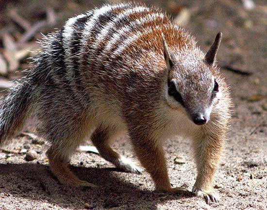 Numbat Australian Animals Australia Animals Australian Animals Animals Wild