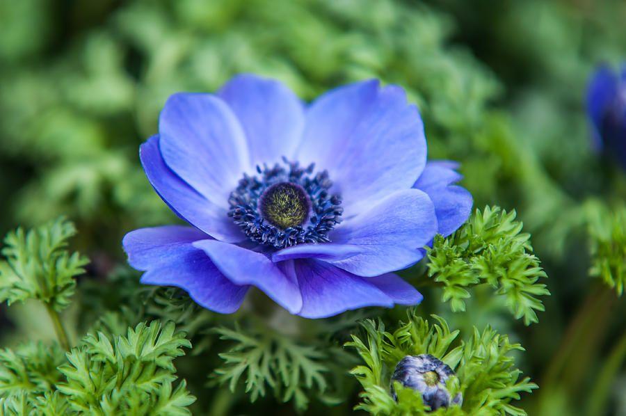 Blue Anemone Flowers Of Holland Jenny Rainbow Jpg 900 598 Anemone Anemone Flower Flowers Perennials